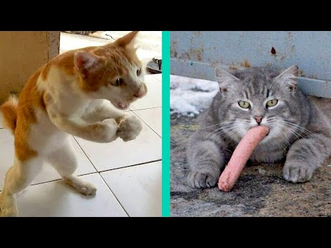 BEST CAT MEMES COMPILATION OF 2020 PART 21 (FUNNY CATS)