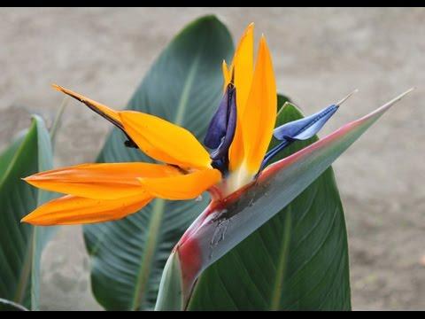 Strelitzia reginae - Bird of Paradise; Crane Flower