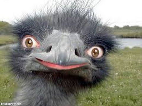 FUNNY OSTRICH COMPILATION