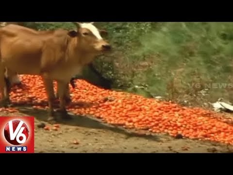 Tomato Farmers In Concern With Price Drop, Throws Tomatoes On Roads In MP | V6 News