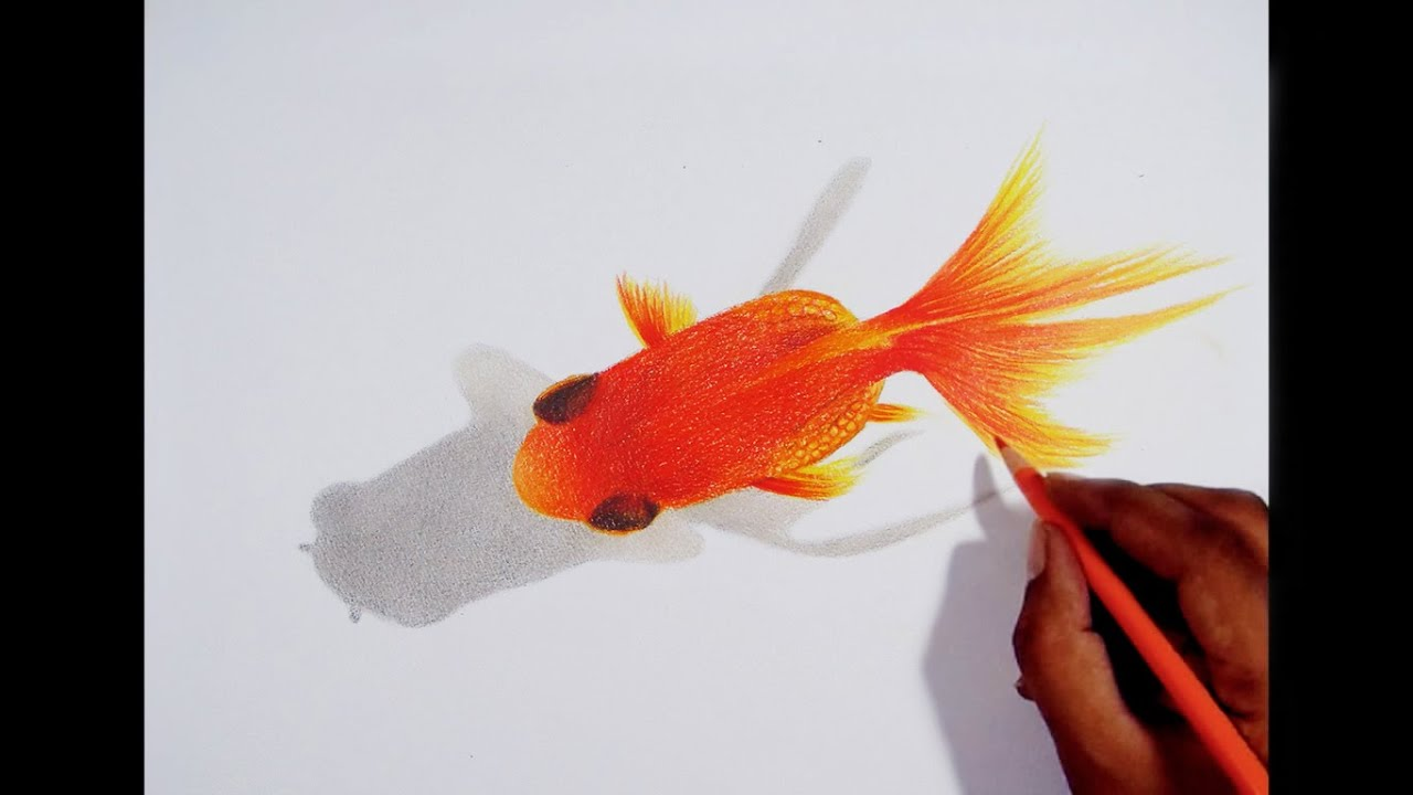 Drawing A Gold Fish -- Faber castell polychromos pencils. - YouTube