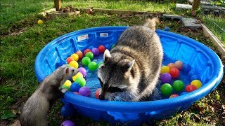 Sad raccoon gets surprise party from ferrets!
