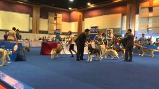 Bob : Siberian Husky Under Judge Mr.jonathan Mesach (indonesia) On Feb 14'15