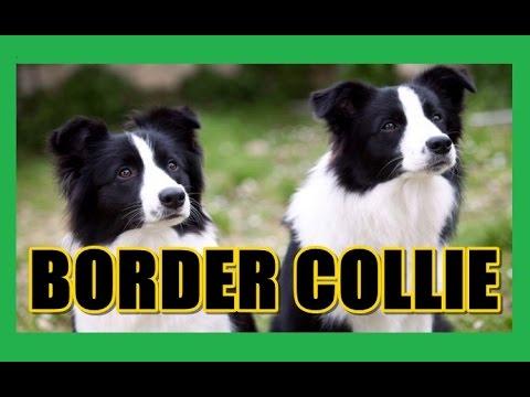 Sobre O Border Collie BORDER COLLIE -...