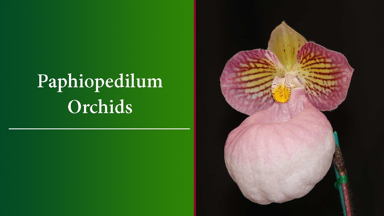 Paphiopedilum Orchids Basic Care Species And Varieties Youtube