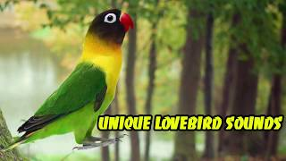 Unique Lovebird Sounds | Audio Therapy For Lovebird