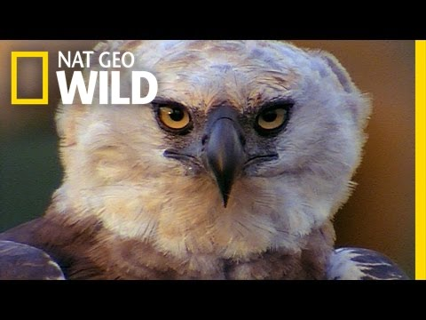Beware The Harpy! | Peru's Wild Kingdom