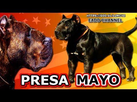 MOLOSO PRESA MAYO - Toda La Verdad Acerca De Esta Nueva Raza  de Perros