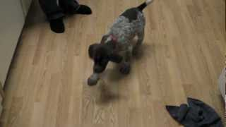 German Shorthaired Pointer Puppy Playing With Antler