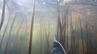 Сазан сбивает с ног Подводная охота карп сазан маныч