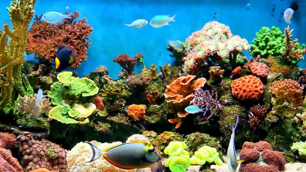Mi acuario marino de arrecifes youtube for Peces de acuario marino