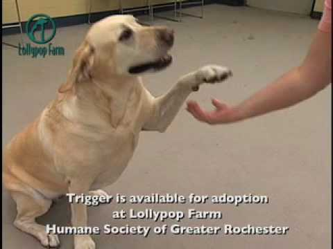 Meet Trigger - Lollypop Farm Adoptable Pet