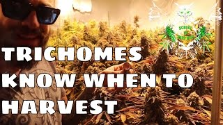 Checking Trichomes: How to Know When to Harvest Weed | How long does it take Marijuana to flower