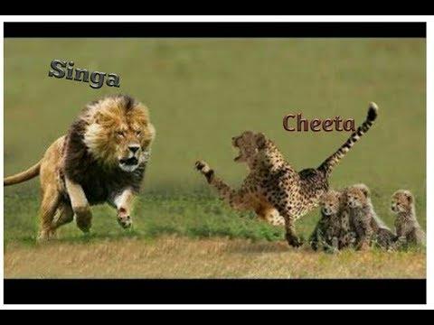 singa-raja-savana