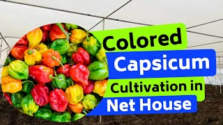 Coloured capsicum cultivation in Net house