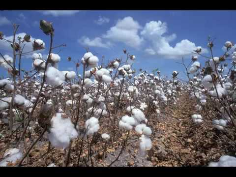 Cotton Fields Creedence Clearwater Revival+Lyrics&Song History