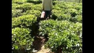 Tea estate land1