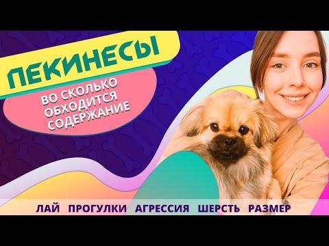 ПЕКИНЕС: личный опыт содержания | Всё о собаке породы ПЕКИНЕС