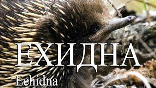 Ехидна — Echidna