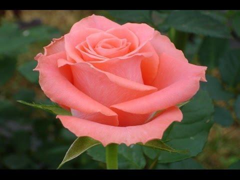 Como cultivar rosas youtube for Como sembrar plantas ornamentales