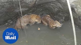 Rescuers haul leopards from bottom of deep well in India