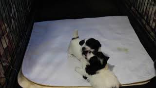 Coton Puppies For Sale - Jara Rose 10/14/20