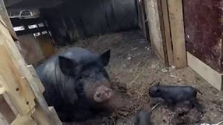 Расширение свиного стада