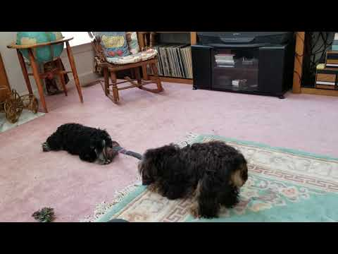 Mini Schnauzers Playing tugging with their chew toy.
