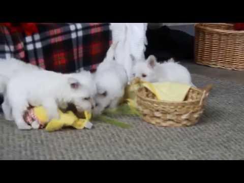 Westie Puppies For Sale