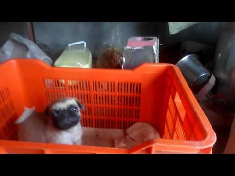 Show Quality Pug Puppies Available For Sale