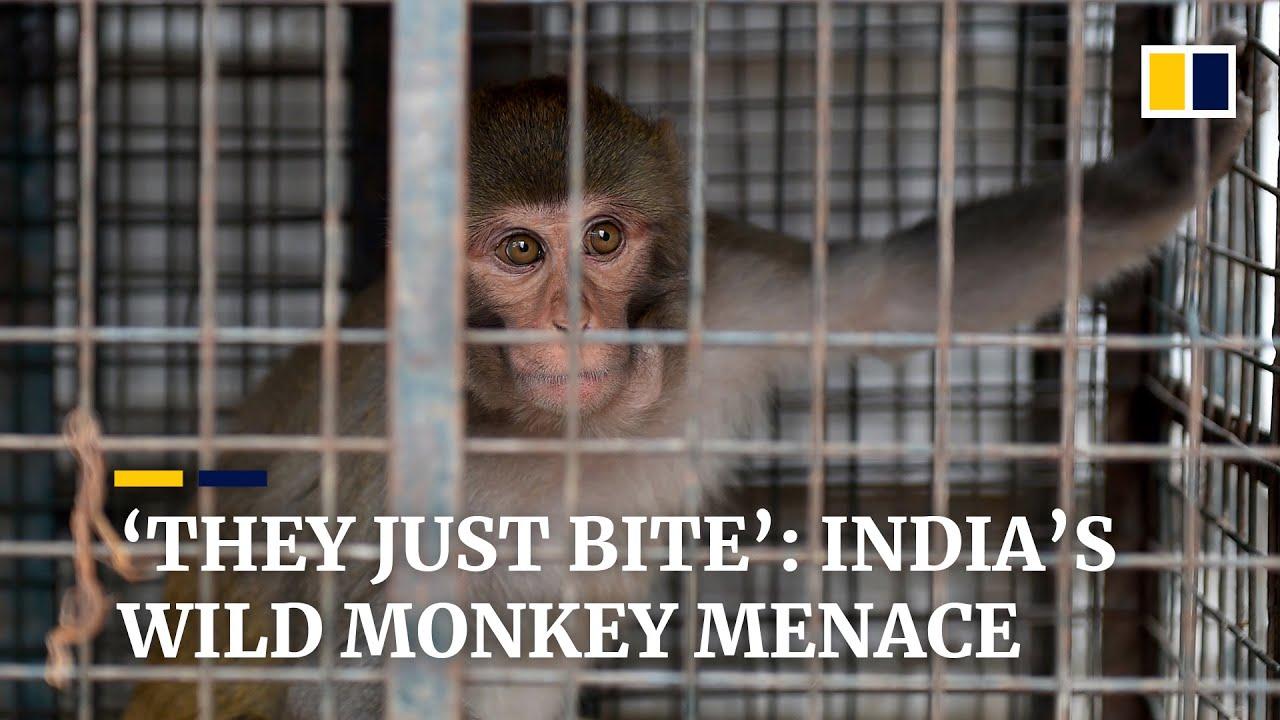 India's 'monkey menace': thousands of wild animals bite residents, eat crops in city of Shimla
