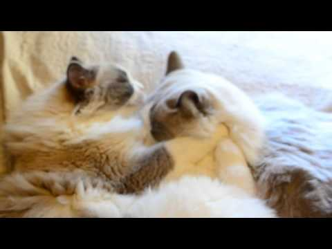 My Ragdoll Cats grooming each other_part1