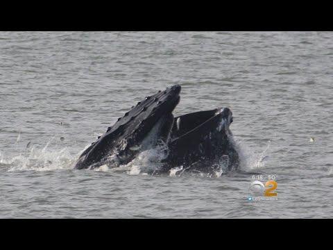 Wayward Whale Spotted In Reynolds Channel