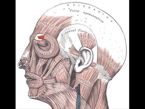 corrugator supercilii muscle - youtube, Human Body