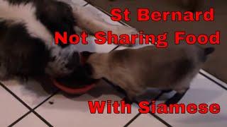 Baixar Saint Bernard dog not sharing food with a Siamese cat.