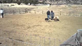 Herding Instinct Test- Australian Shepherd Cali