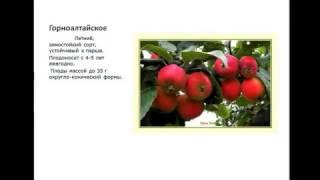 Сорта яблонь  для Северо-запада России