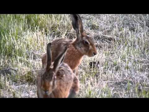 Hares in Ten Mile Bank 210715
