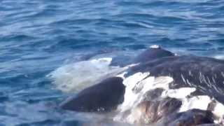 More tiger shark eating dead sperm whale