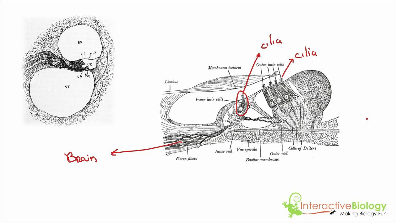 039 the function of the organ of corti