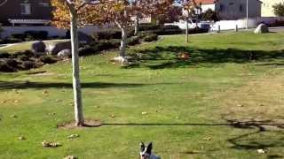 Iq K9 Training | Amazing Dog Trick | Labrador Retriever