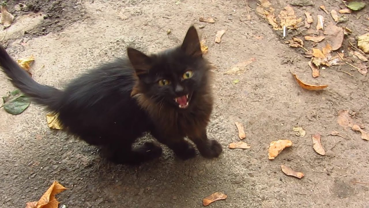 Black Cat Meowing Photos
