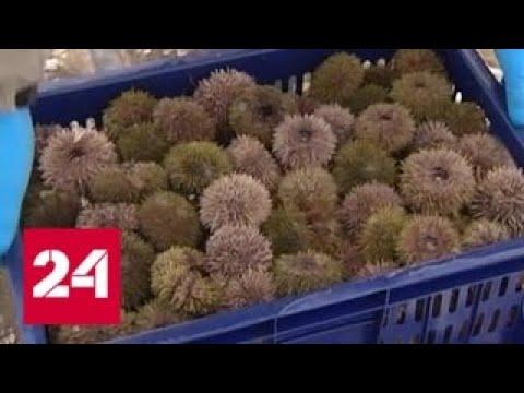 В Мурманске начали добывать морских ежей - Россия 24