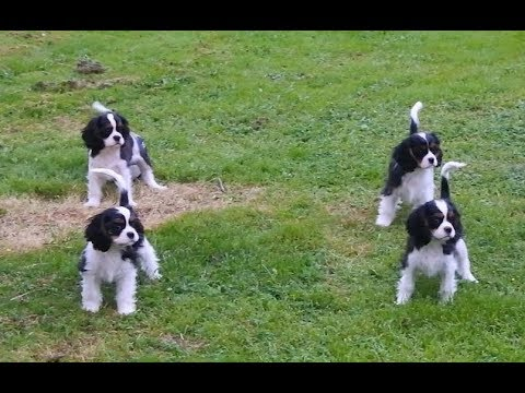 Cavalier King Charles Spaniel puppies first time see football ball. Puppies 3,5. month old