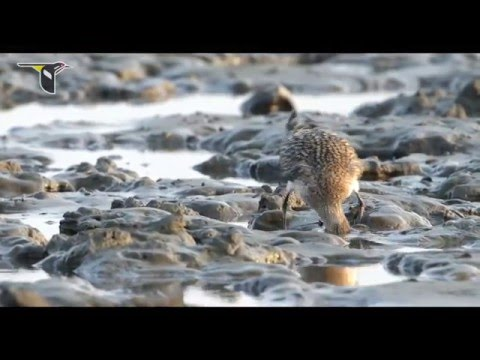 Migratory Shorebirds Depend on the Yellow Sea English 1080p