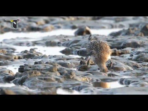Migratory Shorebirds Depend on the Yellow Sea English 1080p