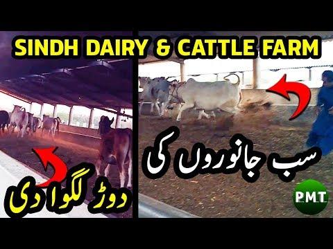 breeding-cows-&-fattening-bulls-at-sindh-dairy-cattle-farm-for-qurbani-at-bakra-eid-farm-management