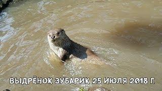 ВЫДРЁНОК ЗУБАРИК 25 ИЮЛЯ 2018 Г.