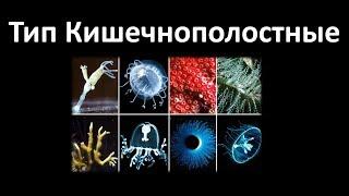 5. Кишечнополостные (7 класс) - биология, подготовка к ЕГЭ и ОГЭ 2019