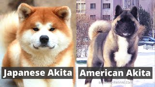 Japanese Akita vs American Akita | What's the Main Difference between the two?